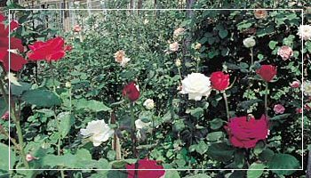 Roses from San Remo - Photo APT RdF